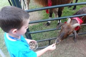 JT feeding a goat