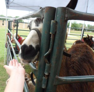 Me feeding the Llama, I actually ended up using all of JT's food because he was kind of scared and didn't want to feed them after all.