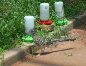 This is the Greater Roadrunner, he was just running around...he had a cage but he wasn't in it...I'm not sure if he was supposed to be in there or not but it had his name on it.