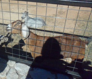 This was the next goat on the other side of the little barn thing.