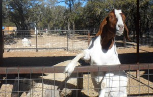 There always seems to be that one wild crazy hungry goat and this was him.
