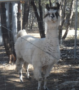 Connor was sad because there was no feed left for the llama.