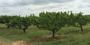 Here are their peach trees.