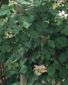 Baby blackberries growing