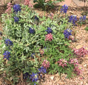 This is our state flower- the Bluebonnet. The most common Bluebonnet that we see is the blue one but there also red and white ones.  They had a field of all 3 but my picture is blurry.